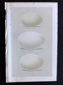 Seebohm 1896 Bird Eggs Print. Flamingo, Red Breasted & Snow Goose 11.
